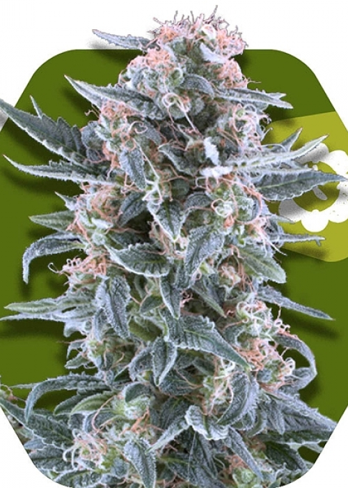 Blueberry Autoflowering