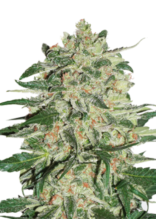 Big Bud Autoflower