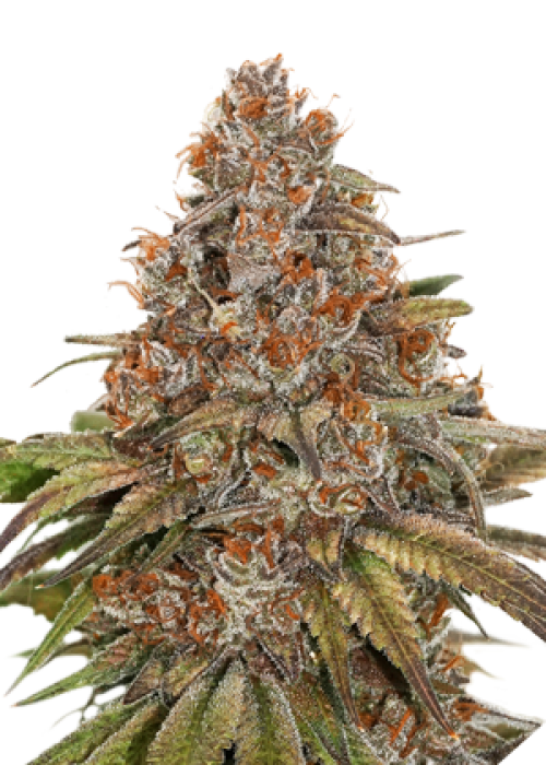 Blackberry Gum Autoflower