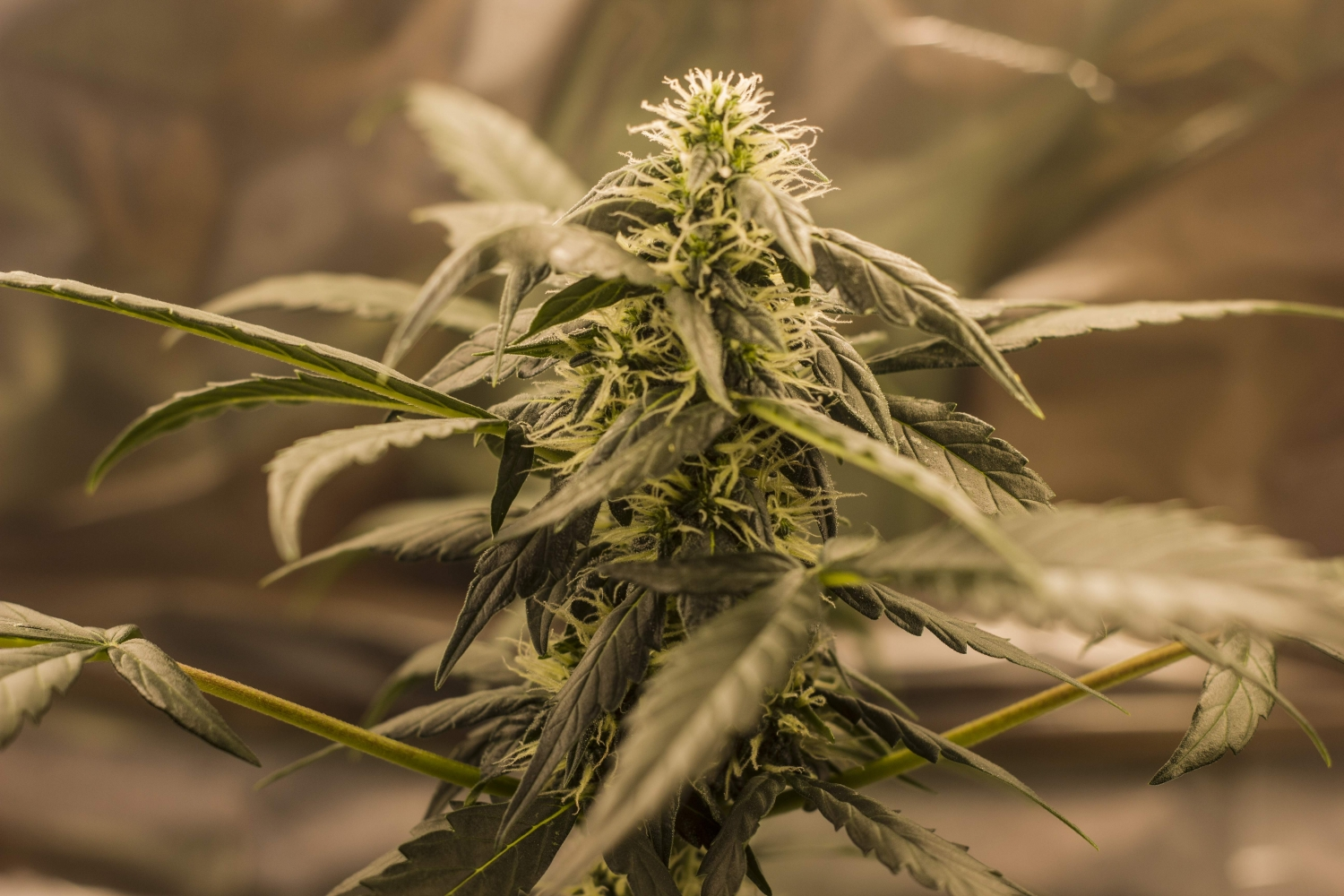 Quick One / Royal Queen Seeds strain info - GrowDiaries